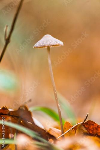 Fotografie, Obraz  champignon dans les feuilles