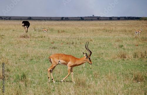 Spoed Foto op Canvas Antilope Kenya