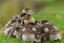 Egyptian Goose Ducklings Resti...