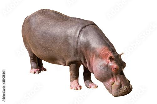 Découvre sur un hippopotame commun isolé sur fond blanc, vu en Afrique du Sud, Afrique Tableau sur Toile