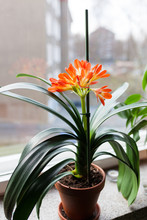 Clivia Miniata Flower Blooming...