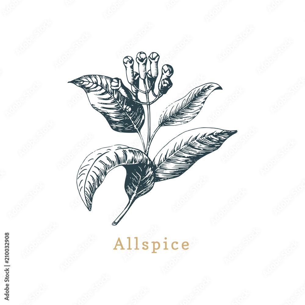 Fototapety, obrazy: Vector allspice sketch. Drawn spice herb. Botanical illustration of organic, eco plant. Used for farm sticker,shop label
