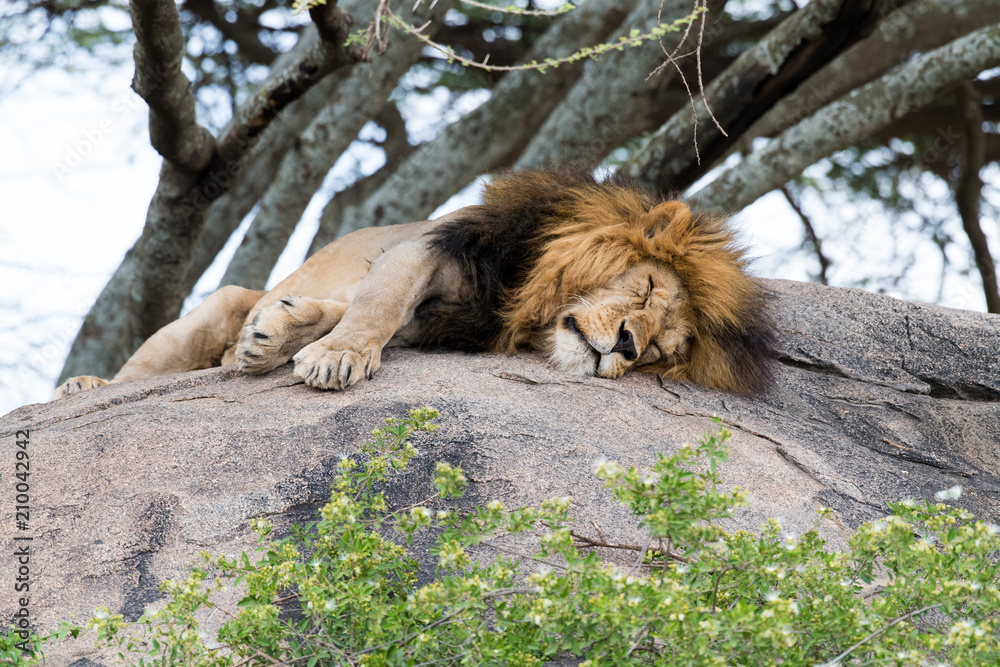 Fototapeta Big tired lion sleeping on the stone