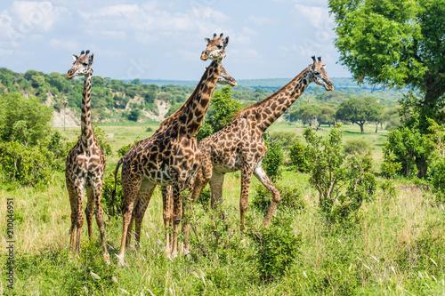 Four giraffes landscape