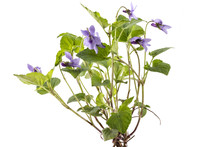 Beautiful Violet Spring Viola Flowers, Viola Reichenbachiana, Dog Violet, With Branches And Leaves Isolated On White