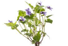 Beautiful Violet Spring Viola ...