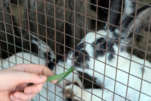 A Man's Hand Holds A Green Blade Of Grass For Feeding Rabbits In A Cage.