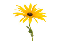 Rudbeckia Flowers Isolated
