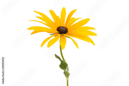 Rudbeckia flowers isolated Fototapeta
