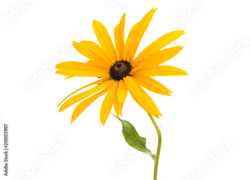 Fototapeta Rudbeckia flowers isolated