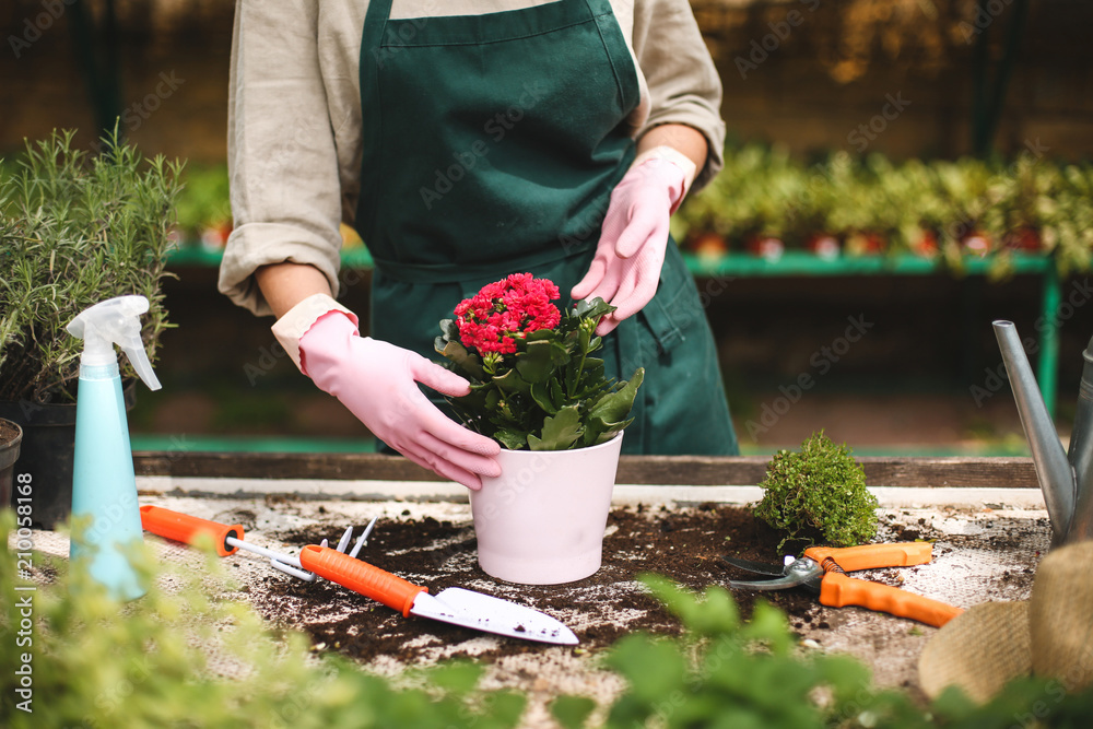 Fototapeta Close up woman hands in pink gloves planting a flower in pot while working in greenhouse