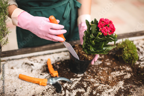 Close up photo of woman hands in pink gloves using little garden shovel while pl Wallpaper Mural
