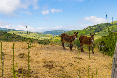 Fotografia, Obraz Two donkeys on a mound in a meadow in the mountains