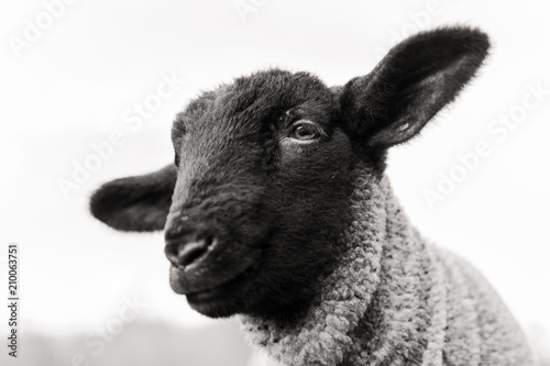 Photo sur Aluminium Sheep black sheep