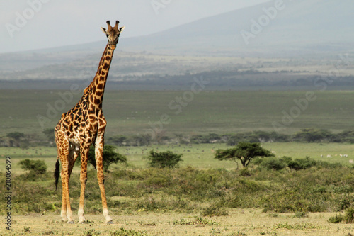 Photo  Giraffe with Landscape in the background