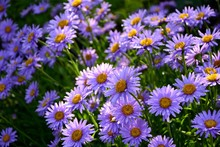 Purple Alpine Asters In The Ga...