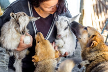 A Woman With Small Goats And Dogs. Dogs Look At The Little Goats That A Woman Holds In Her Arms. Friendship Of Different Animals_