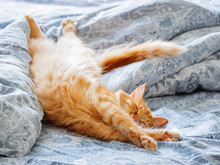 Cute Ginger Cat Lying In Bed. Fluffy Pet Stretching. Cozy Home Background, Morning Bedtime.