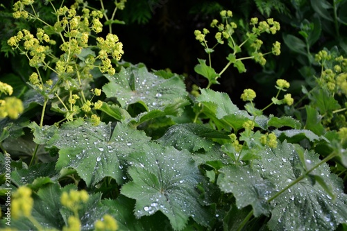 Alchemilla mollis  or lady's mantle in the garden after rain close-up Wallpaper Mural