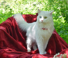 Angora Cat In The Garden On A ...