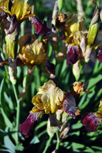 Yellow And Purple Iris Flowers Blooming, Blurry Green Leaves Background