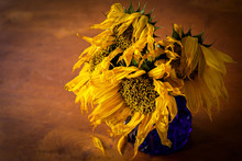Dying Sunflowers In An Evening Light.