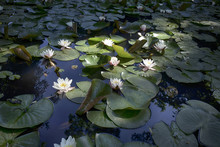 The Nymphaea Virginalis In The Backlight At Sunset In The Botanical Garden