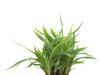 Spider Plant Isolated On White...