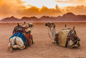 Fototapeta Two camels are in the Sinai Desert, Sharm el Sheikh, Sinai Peninsula, Egypt. Orange beautiful sunset above mountains