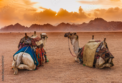 Fotobehang Kameel Two camels are in the Sinai Desert, Sharm el Sheikh, Sinai Peninsula, Egypt. Orange beautiful sunset above mountains