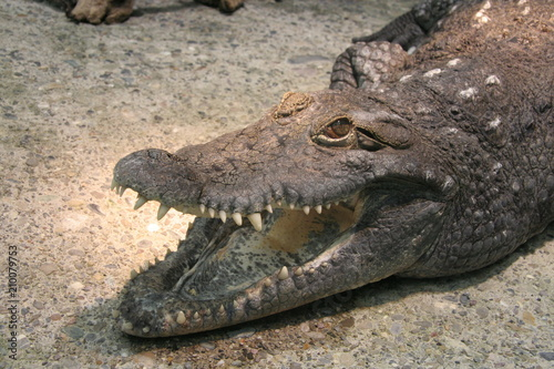 Foto op Canvas Krokodil Crocodile Close Up