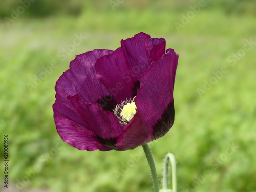 Obraz Papaver somniferum - Purple Poppy, on its own with a green bokeh background, in England - fototapety do salonu