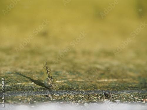 Fotografia, Obraz  水の中を泳ぐオタマジャクシ