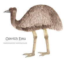 The Ostrich Emu Watercolor. Bird Of Australia. Isolated Illustration On White Background.