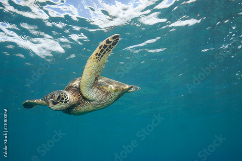 Poster Tortue Close encounter with a green sea turtle in clear blue tropical water