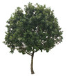 isolate tree on white background and make clipping path