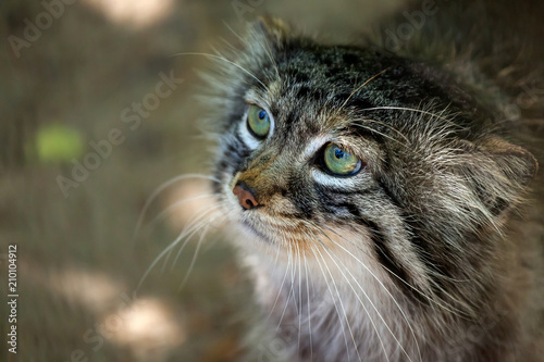 Close-up portrait of a beautiful brown pallas cat with green eyes, view from bel Poster