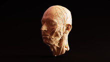 White Chocolate Clay Anatomical Ecorche Human Head 3d Illustration