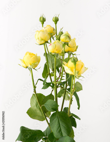 Fototapety, obrazy: a bunch of untreated rose flowers on a white background