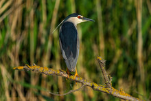 Night Heron, Nycticorax Nycticorax, In Beautiful Sunlight Danube Delta Romania