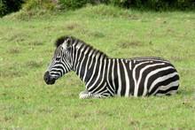 Full Body Of A Zebra Foal With...