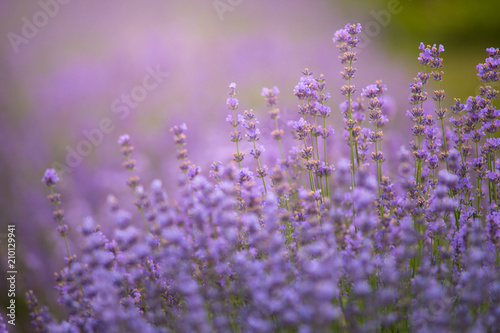 Lavender field in sunlight with copy space. Macro of blooming violet lavender flowers. Summer concept, selective focus. #210129941