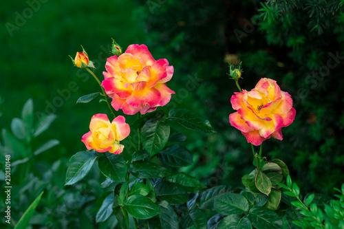 Obraz na płótnie Blooming Pullman Orient Express roses in the garden