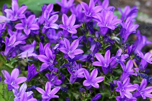 Foto op Canvas Lilac Blue purple Campanula of walls or bellflower flower is a perennial
