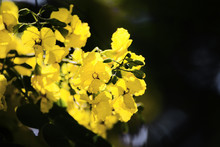 Tipuana Tipu Yellow Flowers In A Branch. Empty Copy Space For Editor's Text.