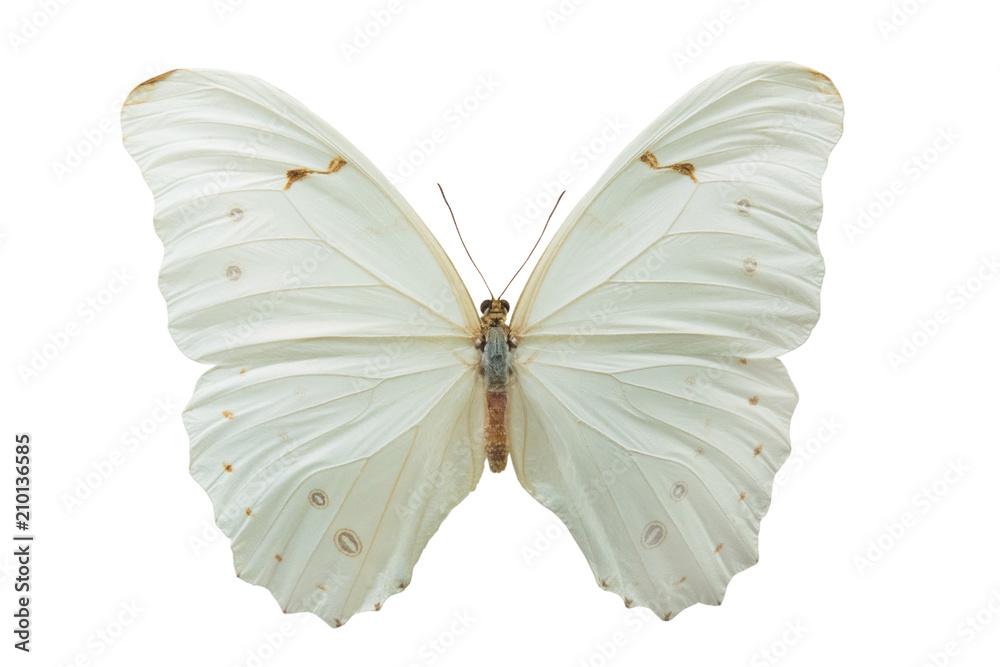 Fototapeta butterfly Morpho polyphemus m