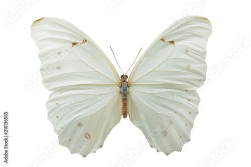 Fototapeta butterfly Morpho polyphemus m obraz