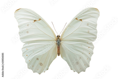 Fotobehang Vlinder butterfly Morpho polyphemus m