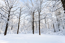 Oaks At Snow-covered Glade In ...