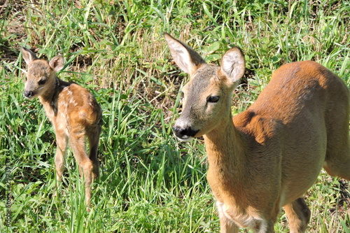 Keuken foto achterwand Ree A roe deer and its fawns